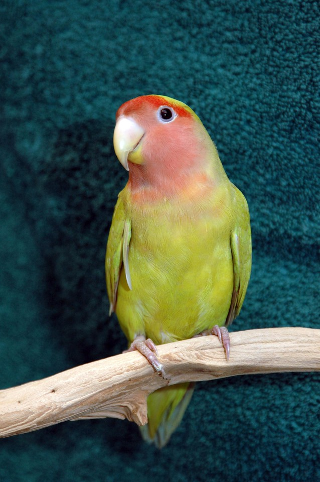 lovebird perched