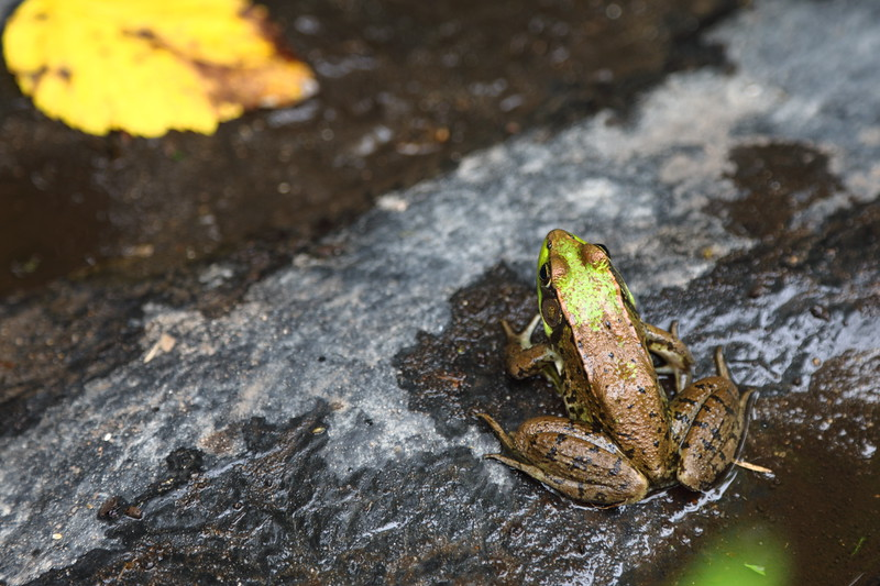 Frog by Leaf