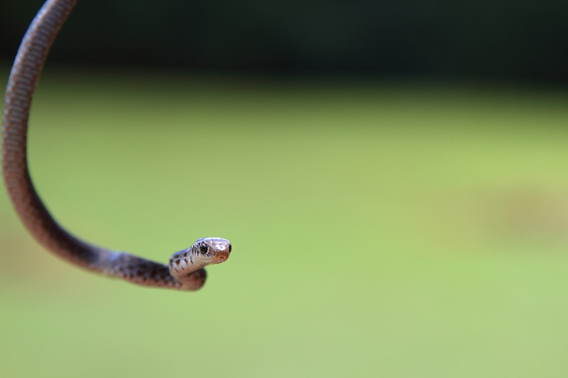 Small Snake Tasting the AIr