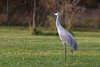 Sandhill Crane In Field