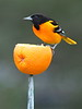 Baltimore Oriole on Orange [3:4]