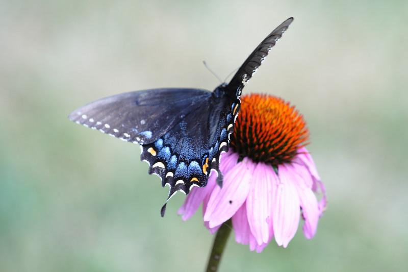 Swallowtail Butterfly on Cone Flower