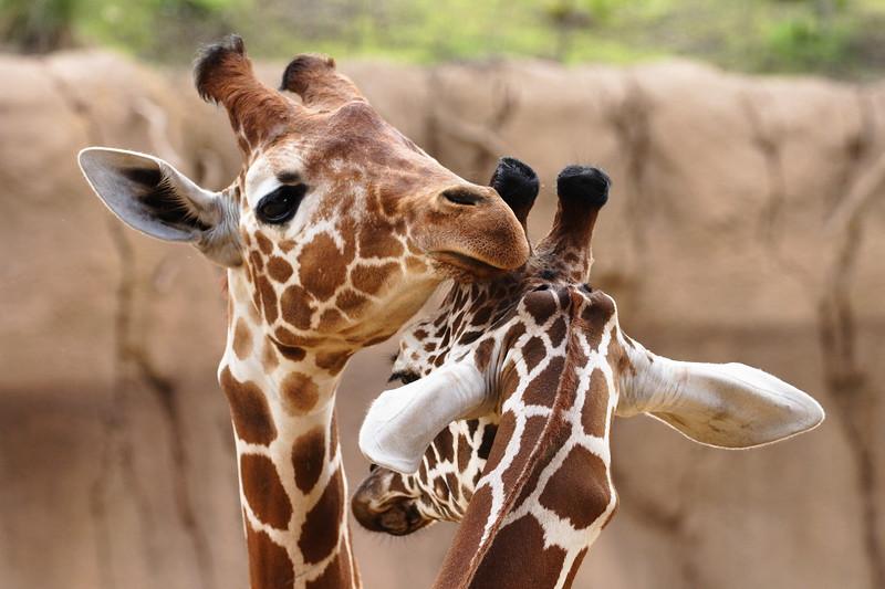 Giraffe Pair in a Neck Embrace