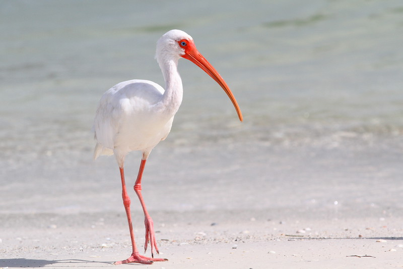 American Ibis Walking the Shoreline
