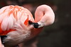 Chilean Flamingo Preening