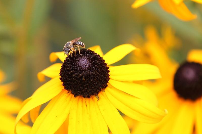 Honey Bee On Black-Eyed Susan