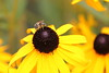 Honey Bee On Black-Eyed Susan