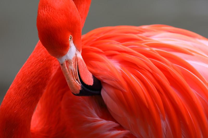 Pink Flamingo Preening