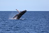 Humpback Whale Breaching in the Sea of Cortez MX