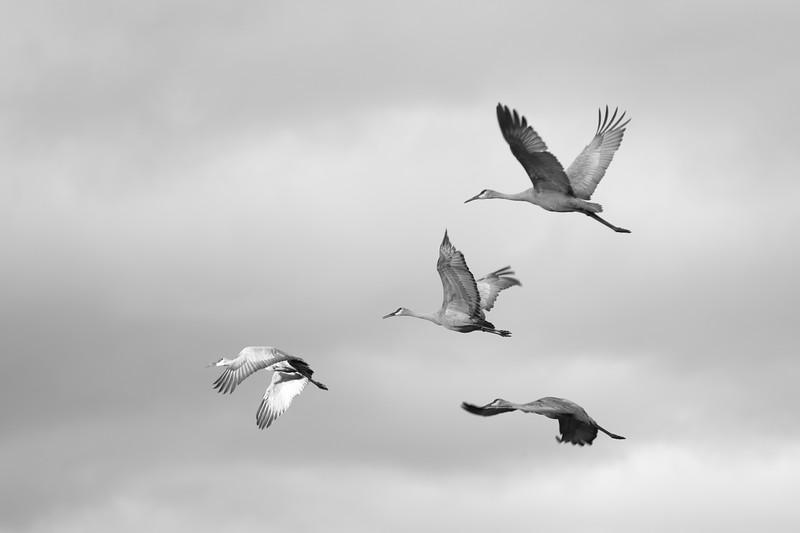 Flock of Sandhill Cranes in Flight