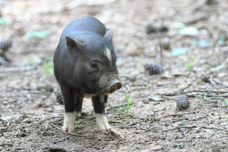 Pot Belly Piglet Looking for Food
