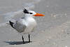 Royal Tern Resting on the Shore