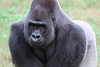 Western Lowland Gorilla Looking Intently