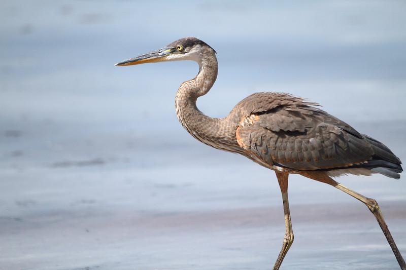 Great Blue Heron Wading in the Ocean