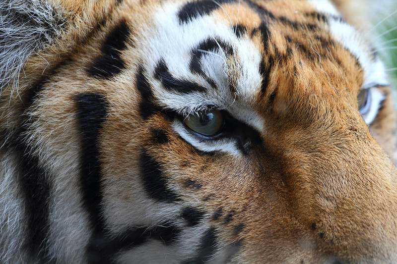 In the Eyes of a Siberian Tiger