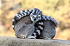 A Ball of Ring-Tailed Lemurs