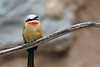 Bee-Eater On Branch