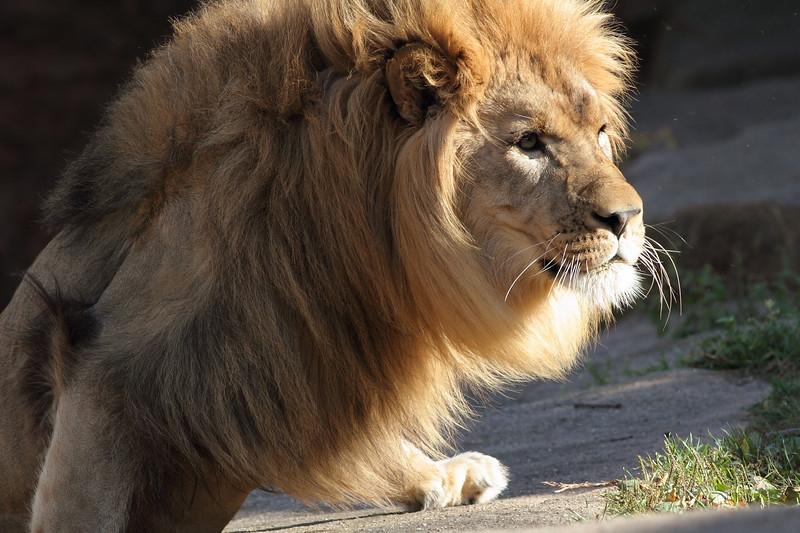 Lion Climbing Ledge