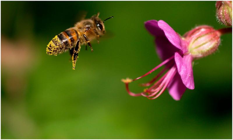 Abeille à miel, ouvrière.<br /> Seule espèce d'insecte véritablement domestiquée.