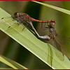 Petites Nymphes au corp de feu en reproduction<br /> Le mâle est rouge, environ 45mm.