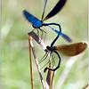 """Probablement deux Agrions jouvencelles en phase de reproduction: """"La roue nuptiale"""".<br /> Le mâle est bleu, env. 40mm."""