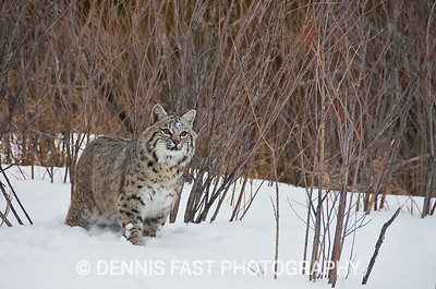 BOBCAT.  The bobcat is very versatile in its choice of habitats and food. Although retiring by nature, bobcats are also known for occasional bold appearances in the presence of humans.
