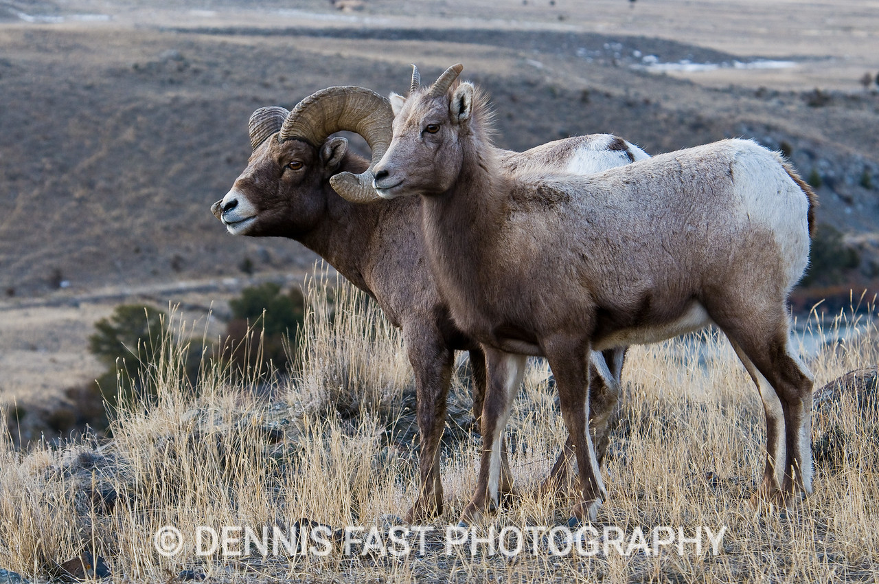 BIGHORN SHEEP.  The bighorn sheep of the Rocky Mountains have become so used to traffic that they frequent the sides of highways in search of grasses and salt. These animals were part of a larger group not far from Yellowstone National Park.