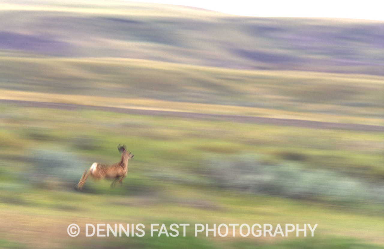 YOUNG MULE DEER HEADING OR THE HILLS.  It had been lurking behind a bush near the road hiding while I focused on its distant mother. When I finally saw it and made eye contact the fawn bolted. I used a very slow shutter speed to capture the essence of its speedy escape.