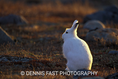 ARCTIC HARE ON FALL TUNDRA.  Except for the high arctic, the arctic hare turns gray for the summer. Sometimes winter comes late to Churchill, Manitoba, and all the animals that have turned white stick out like beacons. It's a great time to sneak up on them because they think you can't see them!