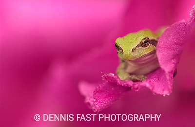 GREY TREE FROG ON GLADIOLA FLOWER.  The grey tree frog (gray, if you're American), actually blends gradually with its background. I see many more green shades than the colour (color) it is named after!
