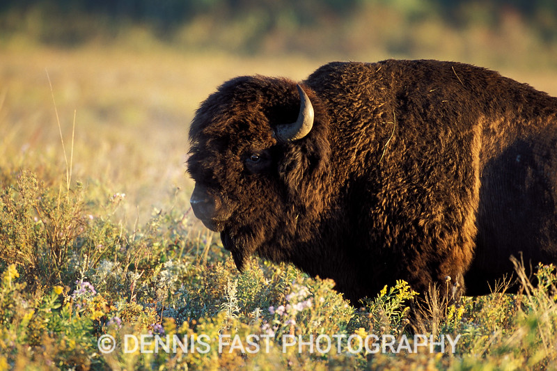 AMERICAN BISON BULL (BOS BISON).  The American plains bison is one of the most intimidating animals of the plains. Restricted now to parks and game farms, we can only imagine the magnificence of the herds that once roamed the tall grass prairies of North America,