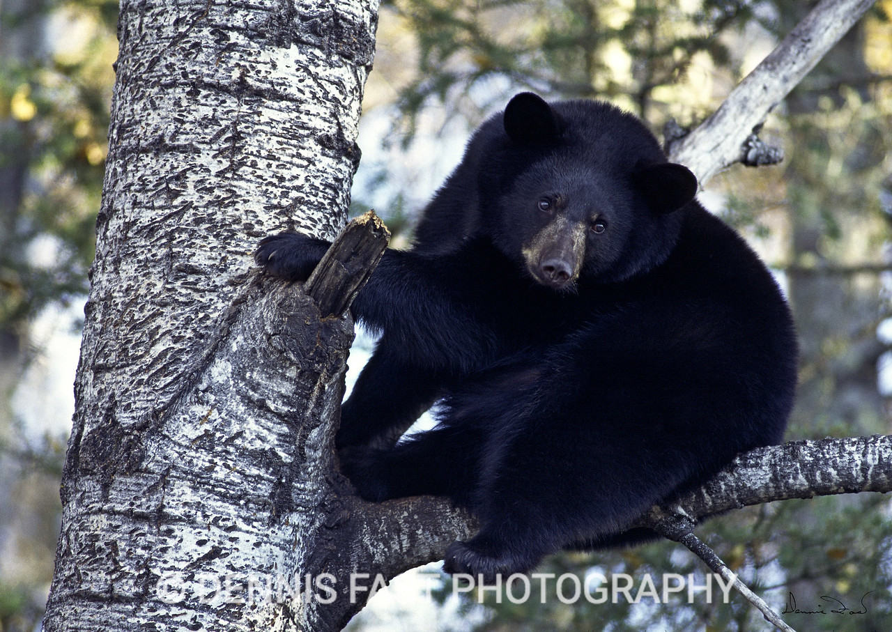 YOUNG BLACK BEAR IN ASPEN TREE.  It was October in Orr, Minnesota when I photographed this rolly-polly black bear in a tree. He was fat and sleek - well prepared for the long sleep that lay ahead.