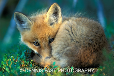 SLEEPY YOUNG RED FOX KIT.  A wary young red fox begins to nap outside its boreal den near Churchill, Manitoba, Canada