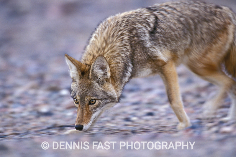 "COYOTE PROWLING FOR FOOD.  The ""wiley"" coyote has adapted to man's presence so well that it may be found in most major cities in North America.  photographed this hunting animal in Death Valley, California."