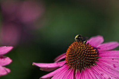 BEE ON FLOWER 3