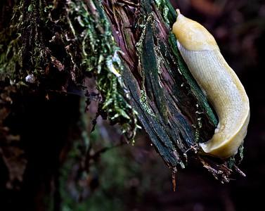 FOREST SLUG