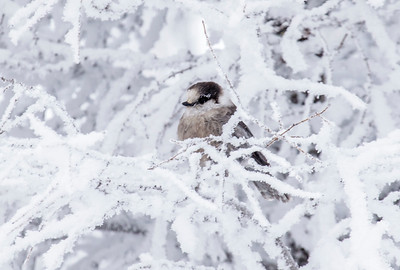 "Gray Jay also known as ""Whisky Jack"" winter in the area."