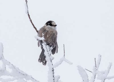 Gray Jay also called Whiskey Jack.