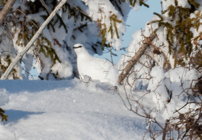 Ptarmigan in winter white feathers