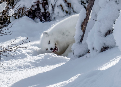 Arctic fox eating something.