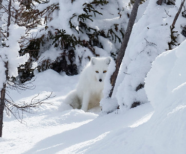 The Arctic fox is almost invisible in the snow.
