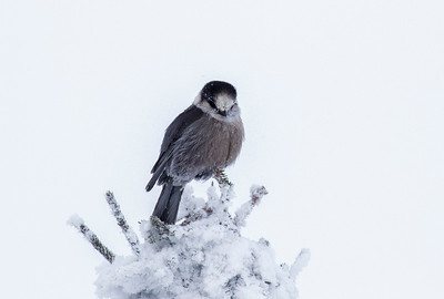 "Gray Jay or ""Whisky Jack"""