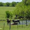 Cattle in Bluebonnets