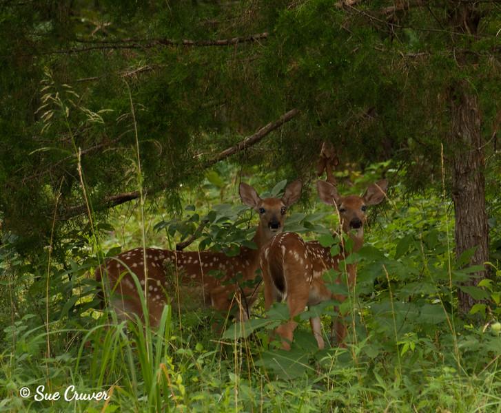 Deer Visitors