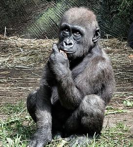 gorilla's -matty
