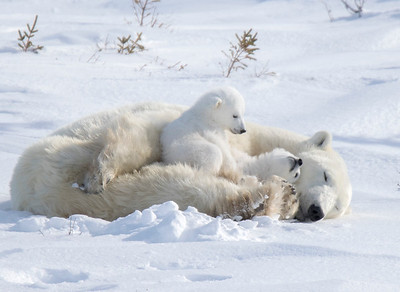 Twins are quite common with polar bears.  Triplets are not as common.