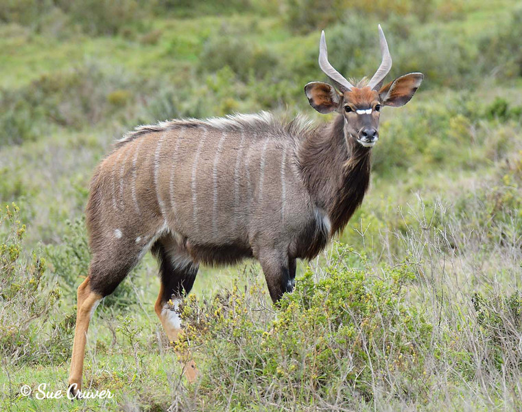 Beautiful South African Nyala