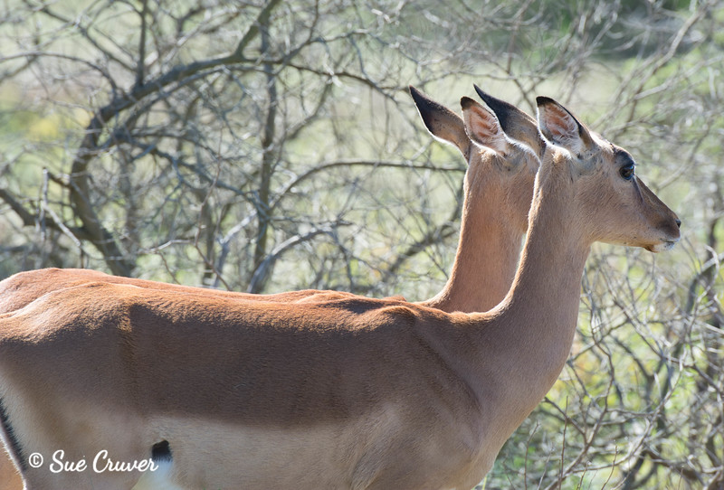 Impala Pair