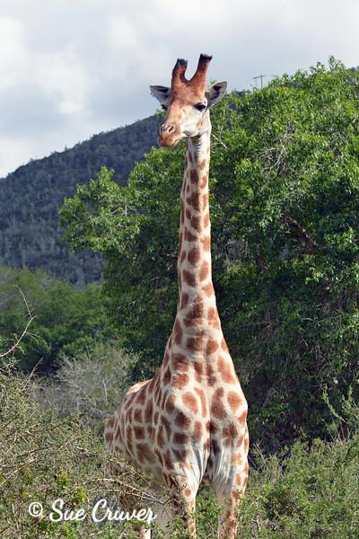 Giraffe On Alert