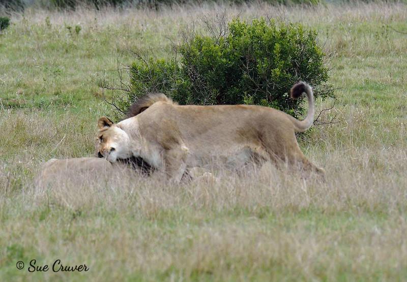 A Loving Lioness